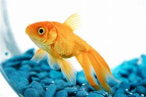 Pet Goldfish May Get Banned In San Francisco