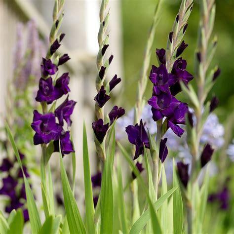 buy gladioli bulbs gladiolus purple mate