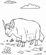 Yak Coloring Pages Fun sketch template