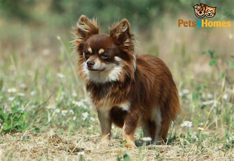 Tiny Non Shedding Dog Breeds by Chihuahua Dog Breed Information Buying Advice Photos And