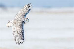 Snowy owl | Christopher Martin Photography