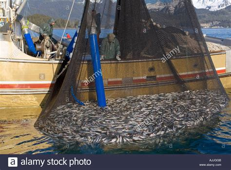Fishing Boat Net by Commercial Fishing Boat W Net Of Herring Uses Trans