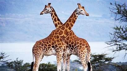 Giraffe Wallpapers Amazing 1080p Fullhdwallpaper