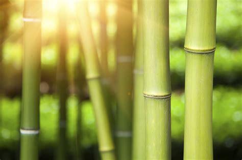 bambus pflanzen im maerz aktiv werden gartenpflanzen