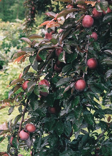 are ornamental plums edible plums edible landscaping