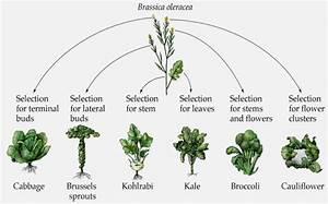 The Magical Brassica Oleracea Plant