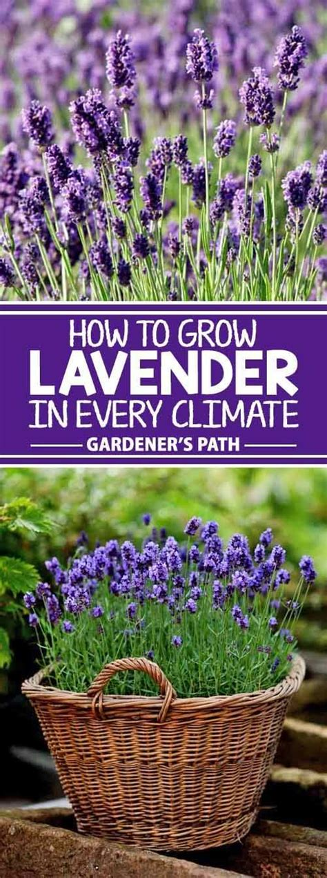 lavender care and maintenance how to grow lavender in every climate gardening viral