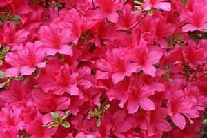 50+ Wonderful Azalea Flowers Pictures - Golfian com