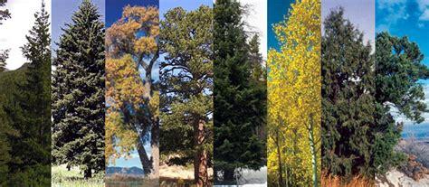 white nursery colorado 39 s major tree species colorado state forest service