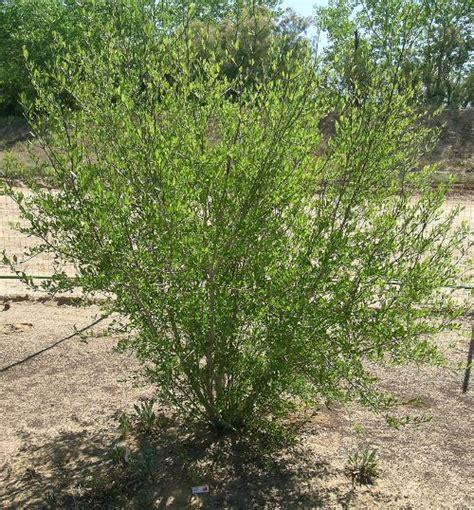 olive garden farmington nm name new mexico privet forestiera neomexicana type