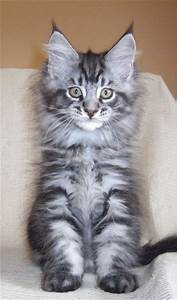 28 best images about Silver blue MaineCoon on Pinterest ...