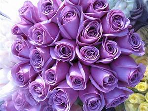 HD WALLPAPERS: Purple Roses