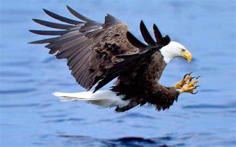 Free photo: Bald Eagle Hunting - Animal, Bald, Bird - Free ...