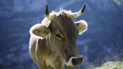 wattwil kuh verletzt bauern mit horn fmtoday