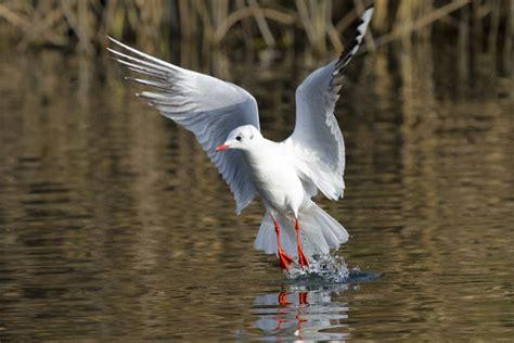 lago gabbiano foto naturalistiche novembre 2012