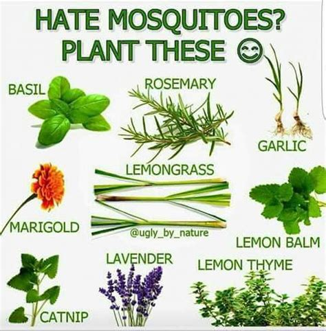 which plants repel mosquitoes pinterest the world s catalog of ideas