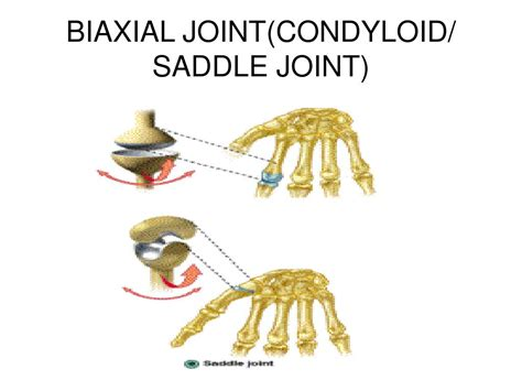 joint saddle condyloid biaxial arthrology synovial general ppt powerpoint presentation articulations slideserve extension articular tendon