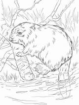Beaver Coloring Pages Animal Print Animals Printable Recommended sketch template