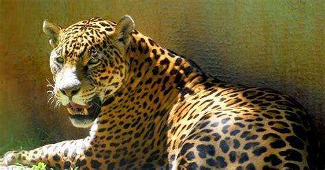 En-Uk's Animal Blog: Jaguar
