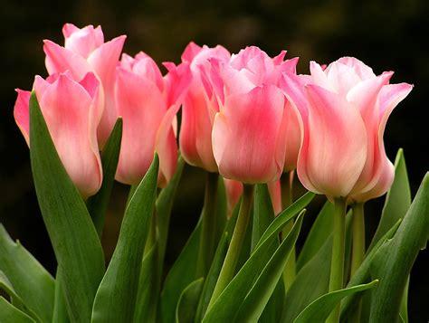 tulip pictures tulip flower pictures tulip