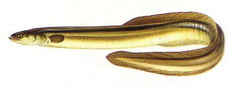 où acheter sa cuisine poissons d 39 eau douce l anguille un poisson d eau douce