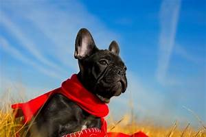 Hundebekleidung Französische Bulldogge : lebenserwartung lebensdauer franz sische bulldogge ~ Frokenaadalensverden.com Haus und Dekorationen