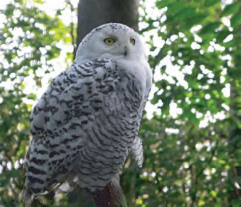 animal facts snowy owl canadian geographic
