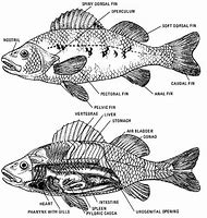 Best internal anatomy ideas and images on bing find what youll love perch fish internal anatomy ccuart Images