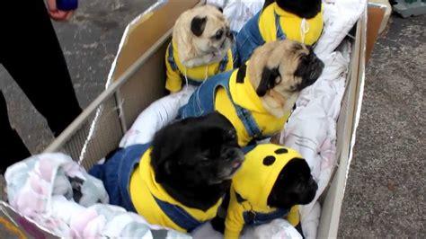 minion pugs  beggin pet parade  youtube