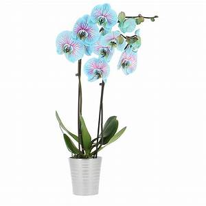 livraison orchidee bleue orchidee foliflora With chambre bébé design avec commande en ligne fleurs