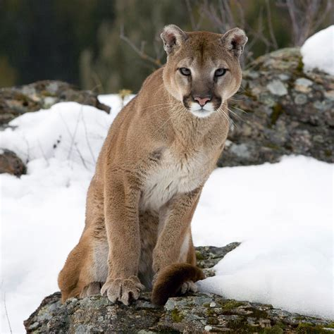 animals cougar face picture ipad iphone hd wallpaper