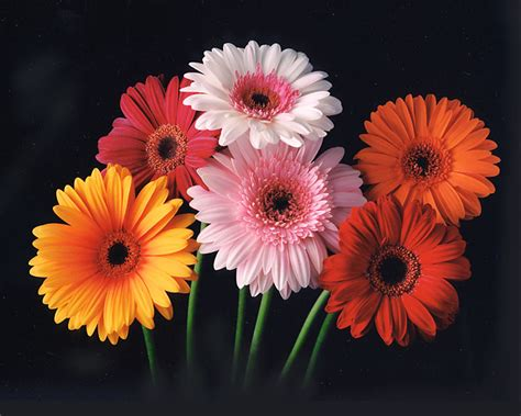 gerber daisies cheerleaders and sport girls gerber daisy tattoo