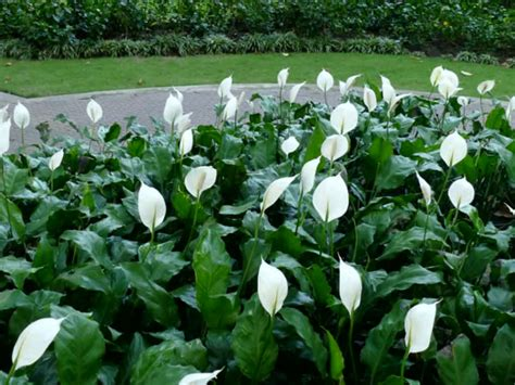 picture of flowering plant spathiphyllum wallisii peace lily world of flowering plants