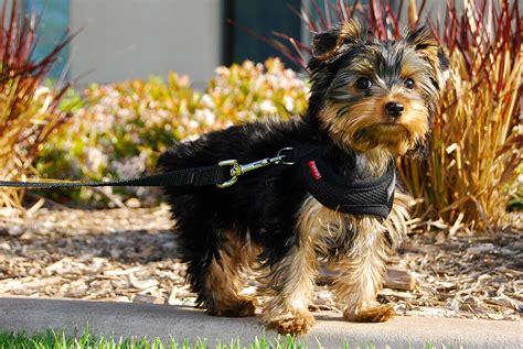 Filewinston A Yorkshire Terrier  Ee  Puppy Ee   Jpg Wikimedia