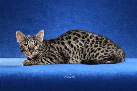 Marechal Safari Cats And Safari Kittens