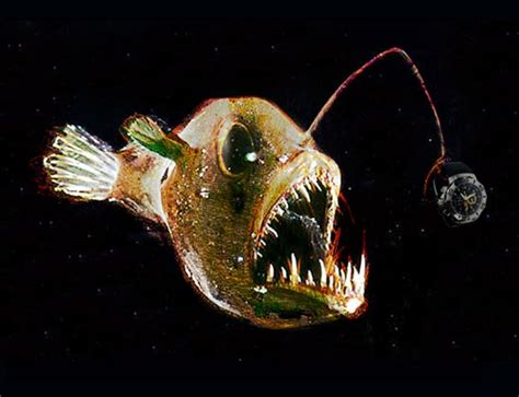 34 Best Angler Feesh Images On Pinterest Angler Fish Deep Sea Pictures Of Lantern Fish Curties