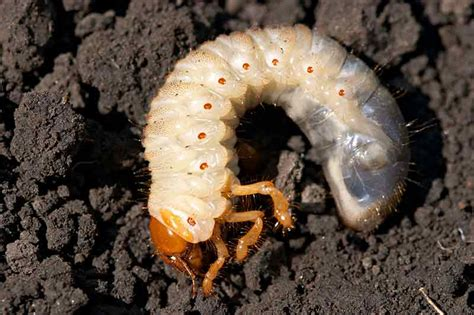 garden pests grubs how to detect and treat common lawn pests