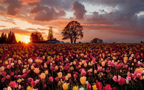 배경 화면 튤립 꽃, 따뜻한 석양, 필드의 많은 2560x1600 Hd 그림, 이미지
