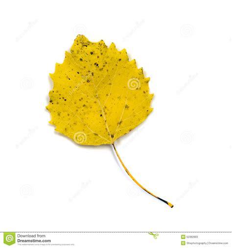 feuille jaune de peuplier blanc d isolement sur le blanc