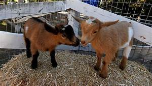 Not Kidding Around  Woman Sues For Paternity Test On Goats