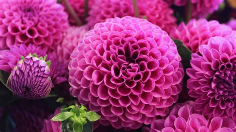 wallpaper dahlia pink flora blossom hd  flowers