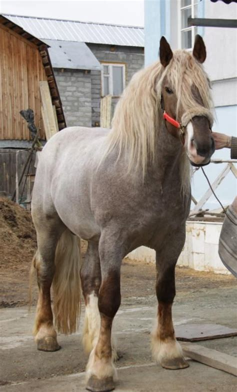 draft horses horse heavy breeds russian lithuanian uploaded user