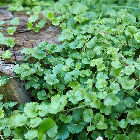 how to identify garden weeds how to get rid of creeping charlie