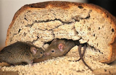 Wie Kommen Mäuse In Die Wohnung by M 228 Use K 228 Fer Bettwanzen Das Versteckspiel In Deutschen