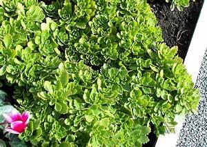 Balkonbepflanzung Im Herbst : sedum hybridum immergr nchen altbekanntes sedum hier als balkonbepflanzung im herbst ~ Markanthonyermac.com Haus und Dekorationen