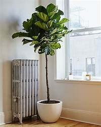 fiddle fig tree Considering the Fiddle Leaf Fig: Gardenista