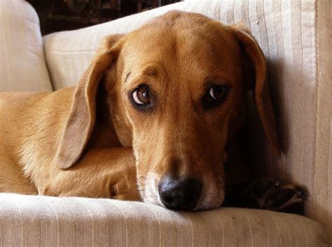 Worried Dachshund Beagle Mix Terms Of Use Please