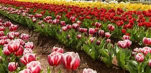 Tulpen Im Garten : tulpen pflanzen tulpenzwiebeln im eigenen garten anbauen ~ A.2002-acura-tl-radio.info Haus und Dekorationen