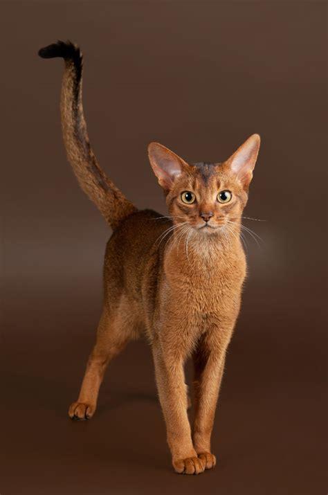 nice abyssinian cat hypoallergenic segerioscom