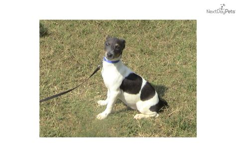 rat terrier shedding rat terrier dogs information clinic breeds picture